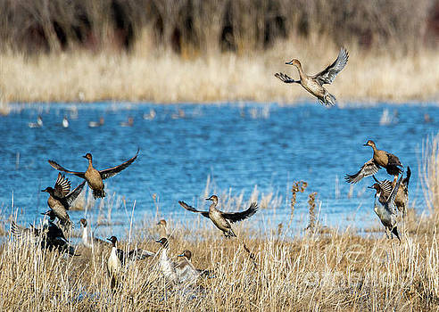 Pintails to the Air by Mike Dawson