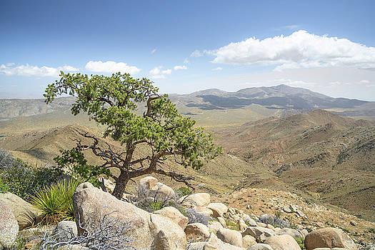 Pinyon Pine above Cool Canyon by Alexander Kunz