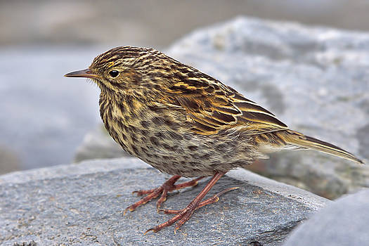 Pioneer - South Georgia Pipit by Tony Beck