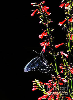 Pipevine on red flowers  by Ruth Jolly
