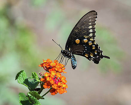 Rosemary Woods-Desert Rose Images - Pipevine Swallowtail Butterfly-IMG_7972-2016
