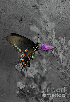 Pipevine swallowtail butterfly by Jim Wright