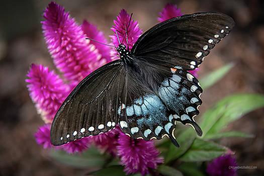 Pipevine Swallowtail Butterfly by LeeAnn McLaneGoetz McLaneGoetzStudioLLCcom