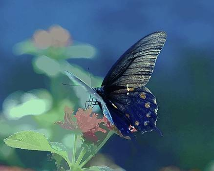 Pipevine Swallowtail on Lantana by Michael Ziegler