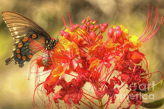 Pipevine Swallowtail with Pride of Barbados by Michael Tidwell