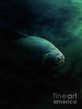 Pirahna fish by Mythja Photography