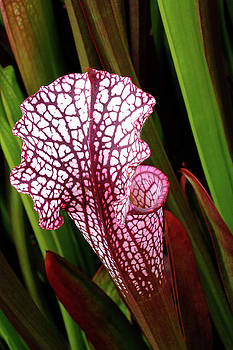 Pitcher Plant by Bill Morgenstern