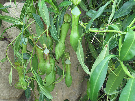 Pitcher Plant Madness by Brandy Woods