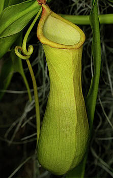 Reimar Gaertner - Pitcher plant nepenthes a vine and carnivorous tropical plant