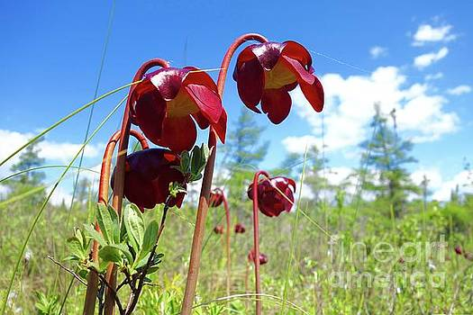 Pitcher Plants are Blooming by Sandra Updyke