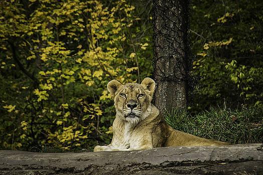 Tim Ford - Pittsburgh Lion