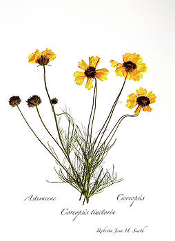 Plains Coreopsis by Roberta Jean Smith