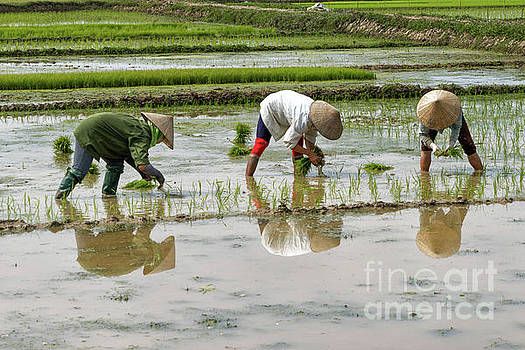 Planting Rice by Peter Dang