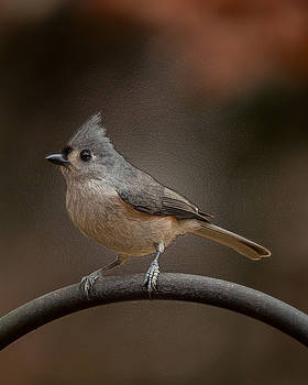 Plastic Wrapped Titmouse by Robert L Jackson