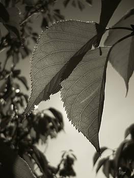 Jeff Breiman - Platinum Leaves 1