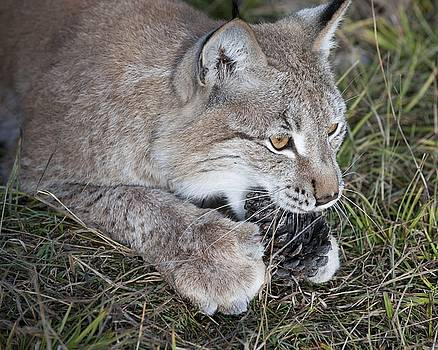 Playful Lynx by Ken Cornett