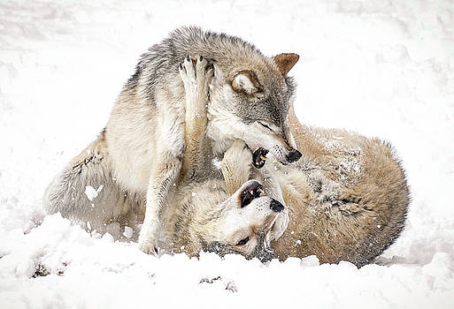 Playful Wolves In Winter by Athena Mckinzie