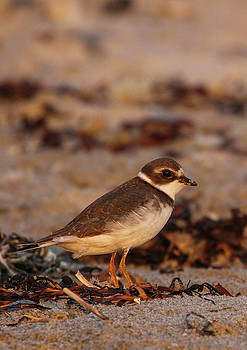 Plover Bird by Juergen Roth