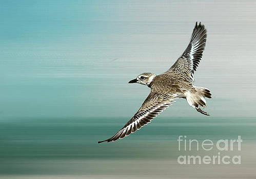 Plover in flight by Myrna Bradshaw