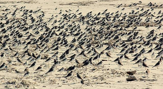 Plovers on the Shore by Rosanne Jordan