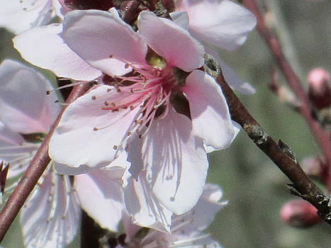 Plum Bloom by Rosalie Klidies