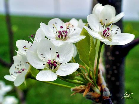 Sam Davis Johnson - Plum Blossom