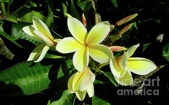 Plumeria Flowers by Jerome Stumphauzer