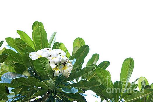 Plumeria by Cindy Garber Iverson