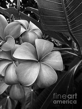 Onedayoneimage Photography - Plumeria in Gray