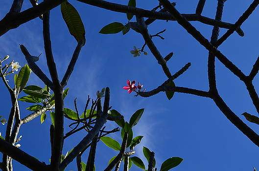 Plumeria by James Cox