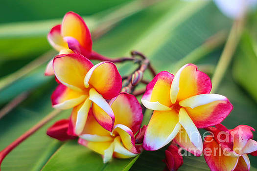 Plumeria Rainbow by Jared Shomo