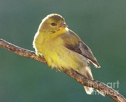 Cindy Treger - Plump And Precious - American Goldfinch