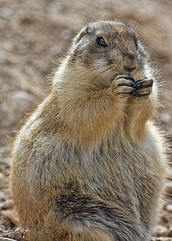 Plump Prairie Dog by Phill Doherty