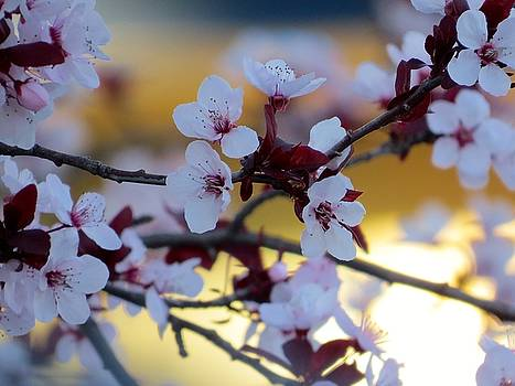 Plums Blossoms by Phil Bearce
