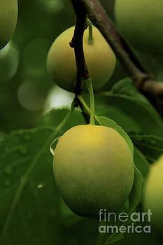 Roland Stanke - plums
