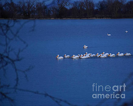 Pod Of Pelicans by Kathy M Krause