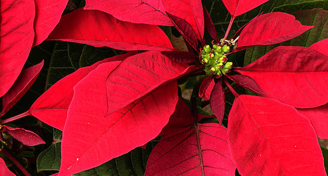 Poinsettia by Bonnie Davidson