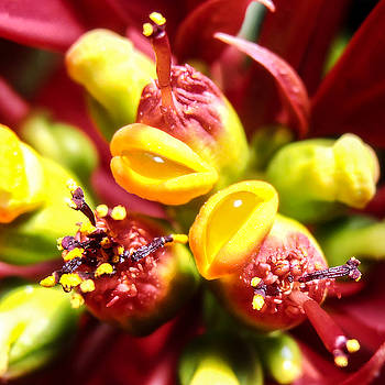 Stan  Magnan - Poinsettia Flower