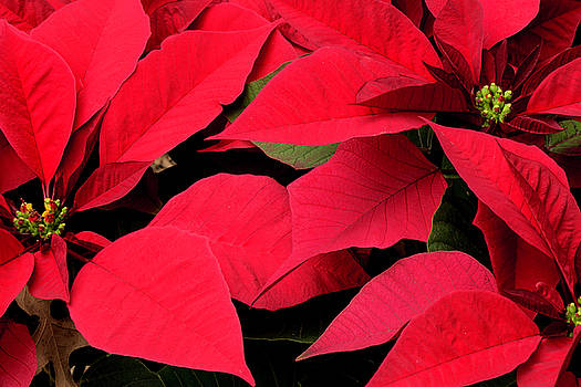 Poinsettia Plant by Bonnie Davidson