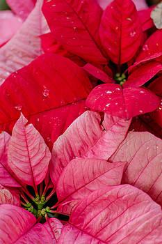 Poinsettias for the Holidays by Stephanie Maatta Smith
