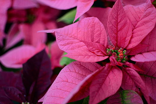 Poinsettias upon poinsettias by Jesyka Tower