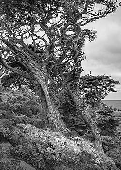 Point Lobos - Bent Cypresses by Alexander Kunz