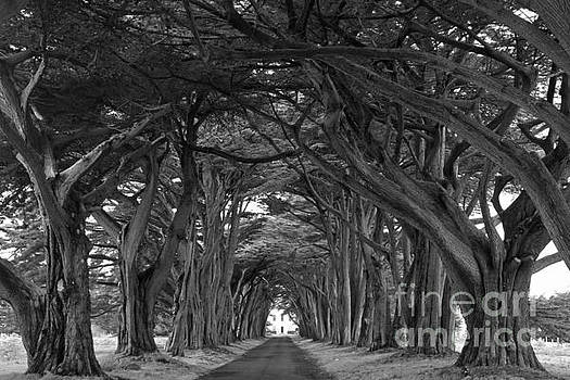 Adam Jewell - Point Reyes Cypres Tunnel Black And White