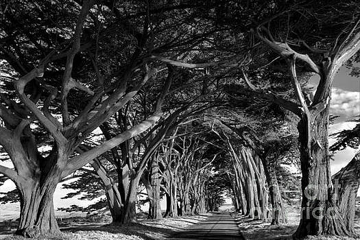 Adam Jewell - Point Reyes Cypress Tunnel - Black And White
