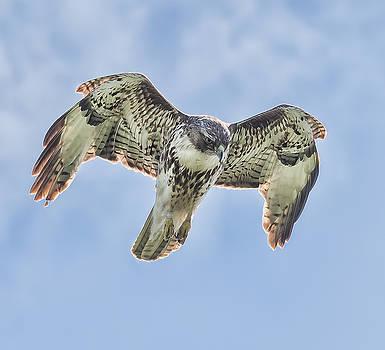 Point Reyes hawk  by Mark Chandler