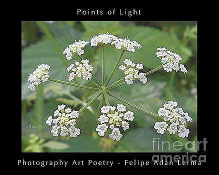 Felipe Adan Lerma - Points of Light Tiny White Lantanas Poster