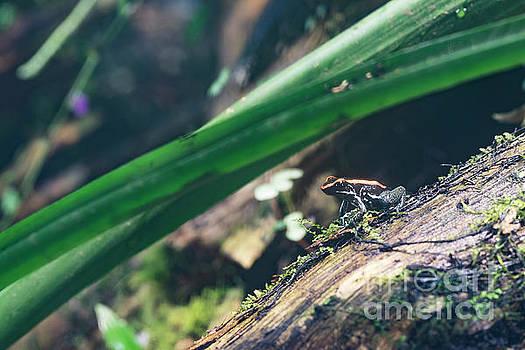 Poison Dart Frog on Jungle Floor by Brandon Alms