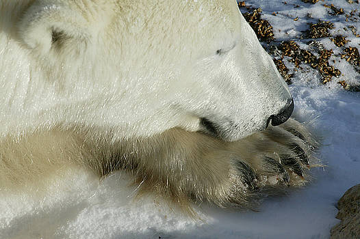 Polar Bear close up by Ralph Fahringer