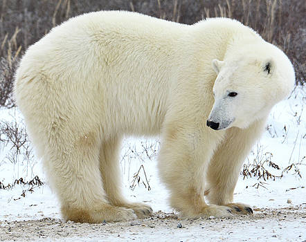 Polar Bear in Snow by Michelle Halsey