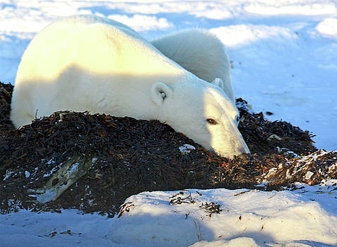 Polar Bear in the Kelp by Michelle Halsey